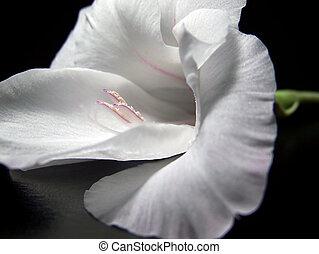 blanco, gladiola, flor, cierre, Arriba