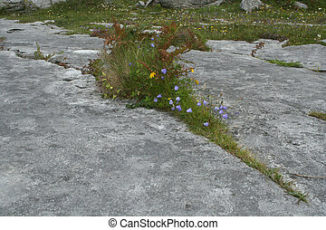 Burren wildflowers - Wildflowers growing in the limestone...