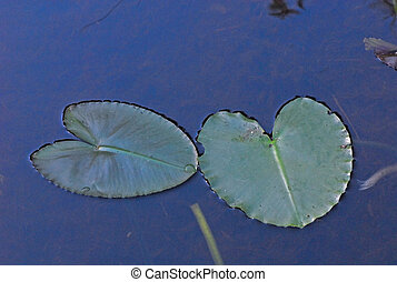 lily pads on the lake