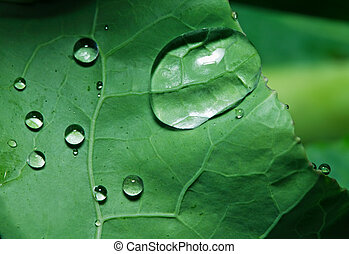 Drops - Macro shot of drops on green cabbage leaf