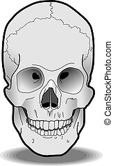 Human Skull - Illustration of a human skull