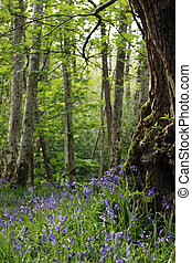 enchanted wood - a wood full of bluebells