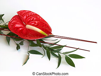 Red Anthurium flower,flamingo flower - Red Flamingo flower...
