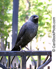 jackdaw - picture of jackdaw sitting on a fence