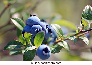 Wild Blueberries Vaccinium myrtilloides - Some wild...