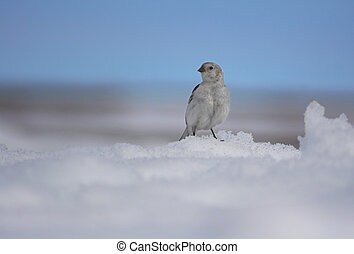 Polar bird - Small polar white-colored bird is sitting on...