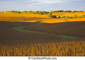 Harvest - Soybean field lit almost orange during sunset,...