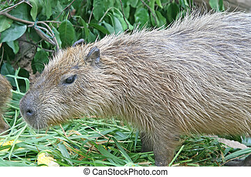 capybara - Close up of a capybara: a semi-aquatic rodent...
