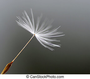 Dandelion Seed - Extreme closeup of a single dandelions seed