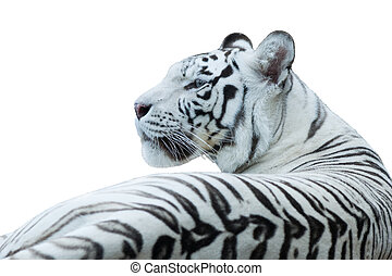 White Bengal tiger, isolated white - White bengal tiger...