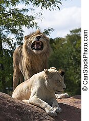 Two Lions - Male lion roaring for female