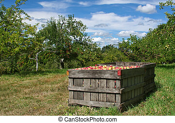 Apple Orchard - Crate of apples in foreground, orchard in...