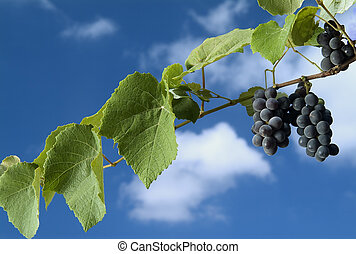 black grapes on vine against cloudy blue sky - Isabella...