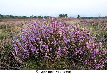 Heather on the moorland Italy