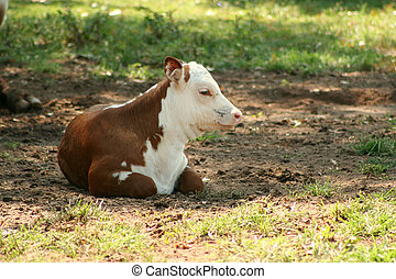Calf laying down in a pasture