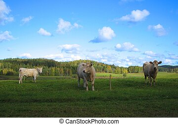 Three cows looking funny in the meadow