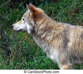 Wolf - Close-up portrait of a wolf standing sideways