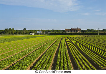 seed rows - Crops are growing in the countryside of Italy