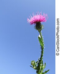 Milk Thistle - Photo with flowers, Close-up and Blue Sky...