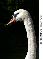 Whopper Swan Portrait - Whooper Swan head and neck only...