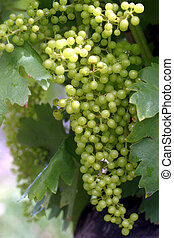 Ripening Grapes - Early July growth. The sun\\\'s rays...
