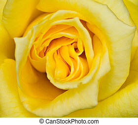 Yellow rose - close up of a yellow rose