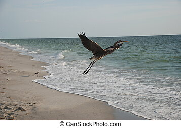Smooth Liftoff - Great Blue Heron, Captiva Island, FL.