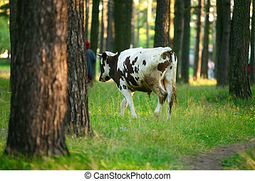 A black-white cow - A black-white grazing cow in green...