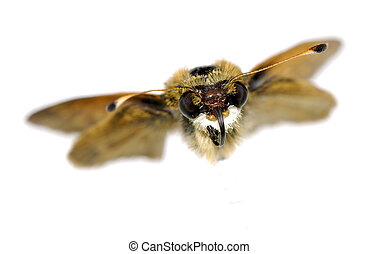 Moth - Photo of Moth In Flight - Insect Related