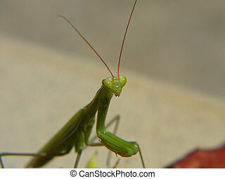 Green mantis - Big curious mantis