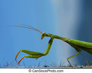 Green mantis - big green mantis