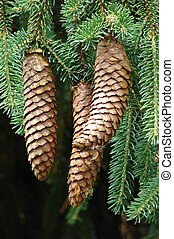 Cones in a pinetree