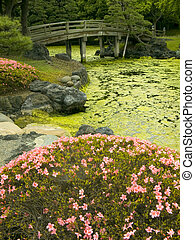 japanese garden - wooden bridge over pond and blossom azalea...