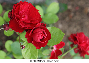 Red Roses - The red color is the classic symbol of love and...