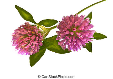 Clover flower - Two clover flower on white background