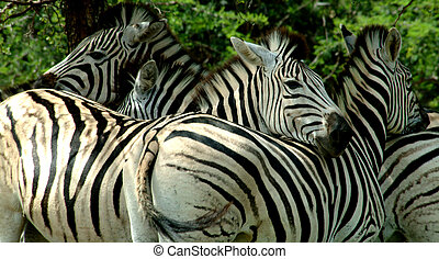 Zebras resting in the shade, taken in South Africa