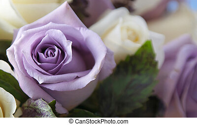 purple rose up close - close up of beautiful white and...