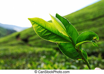 Tea Leaf - Close up of Tea Leaf taken in Cameron Highland,...
