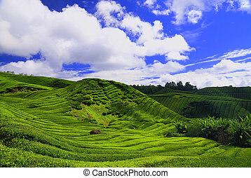 Tea Plantation in Cameron Highland - Tea plantations and...