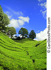 Tea Plantation at Cameron Highland - Verticle shot of Tea...