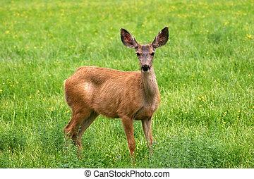 Mule Deer (Odocoileus hemionus) - A mule deer (Odocoileus...