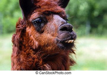 Llama - Close-up portrait of a brown Llama