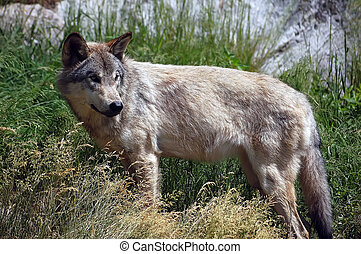 Wolf - A picture of a wild wolf posing sideways
