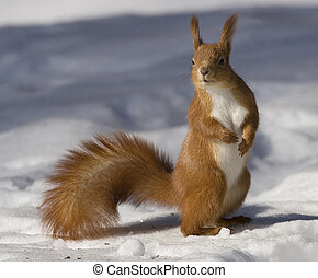 squirrel - Red squirrel on a snow