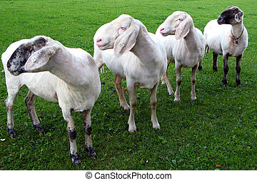 sheeps - four sheeps in a line, turning their head to the...
