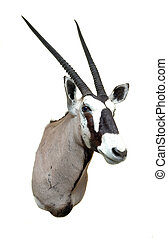 Taxidermy mount -Oryx - Taxidermy mount of an African Oryx...