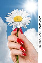 Camomile - A camomile in a female\\\'s hand
