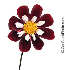 Red and White Dahlia - A red white dahlia isolated with...