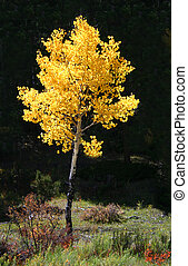 Golden Aspen Populus - Bright gold of aspens Populus...