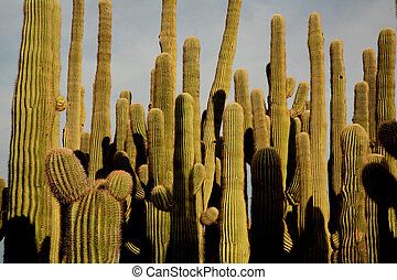 saguaro cacti - A close grouping of saguaro cactus at sunset...